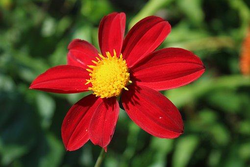 Dahlia, Flower, Plant, Red Dahlia, Red Flower, Petals