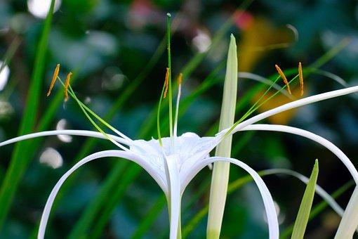 Spider Lily, Flower, Flora