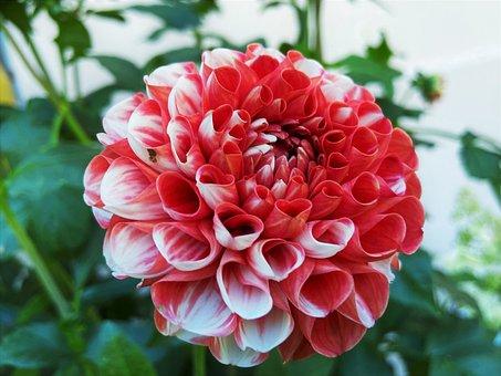 Dahlia, Flower, Garden, Petals, Dahlia Petals, Blossom