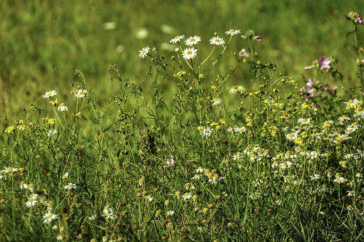 Chamomile, Flowers, Meadow, Plants, White Flowers, Buds