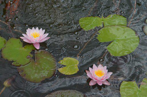 Water Lilies, Flowers, Pond, Lily Pads, Pink Flowers