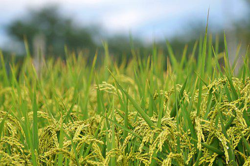 Autumn, Ch, Grain, Field, Nature, Rice, Plant, Harvest