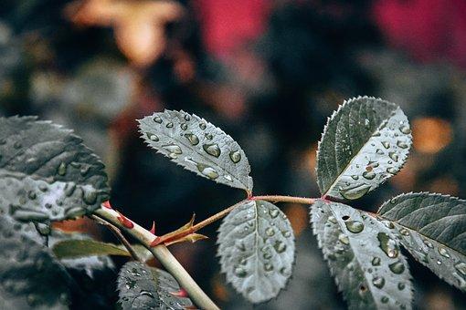 Leaves, Branch, Dew, Wet, Dewdrops, Foliage, Greenery