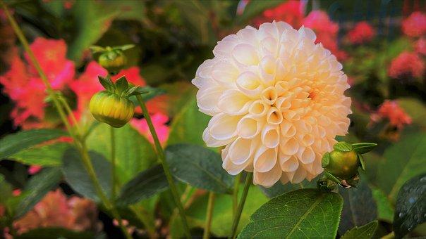 Dahlia, Flower, Plant, Petals, Buds, Bloom, Leaves