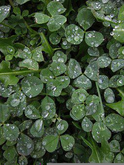 Clover, Leaves, Dew, Wet, Dewdrops, Foliage, Green