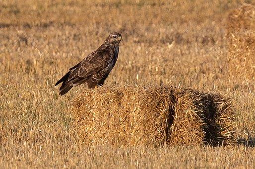 Buzzard, Bird, Field, Common Buzzard, Predator