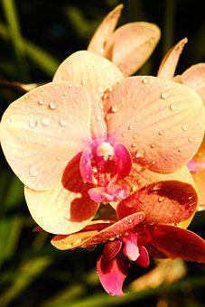 Doritaenopsis, Flowers, Dew, Orchids, Wet, Dewdrops