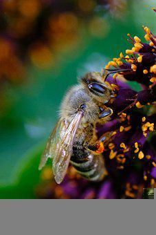 Honey Bee, Bee, Flower, Insect, Pollination, Wildflower