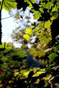 Maple, Leaves, Branches, Foliage, Green, Tree, Plant