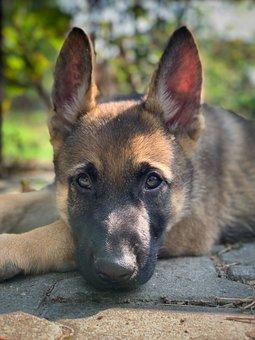 Dog, Puppy, Pet, Animal, Young Dog, Domestic Dog