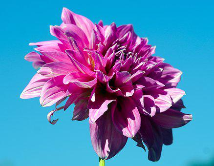 Dahlia, Flower, Plant, Pink Flower, Petals, Bloom