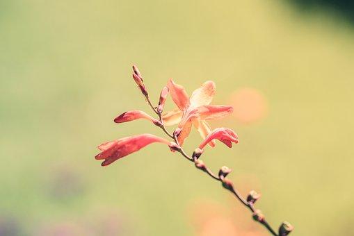 Montbretia, Flowers, Plant, Orange Flowers, Petals