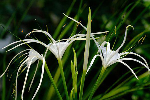 Flower, Spider Lily, Bloom, Blossom, Nature, Plant