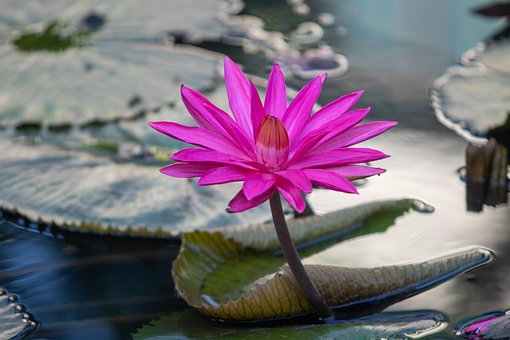 Water Lily, Flower, Plant, Pink Flower, Petals, Bloom