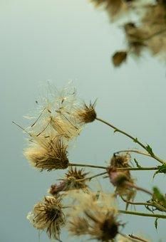 Flowers, Dandelions, Wildflowers, Seeds, Seed Heads