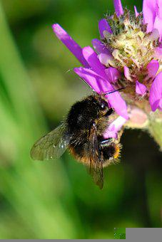 Bumblebee, Bee, Flower, Insect, Pollination, Wildflower
