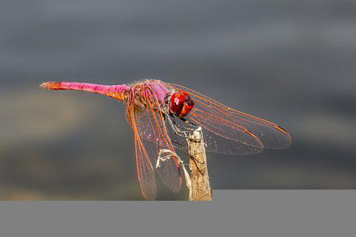 Violet Dropwing, Dragonfly, Insect, Nature, Animal