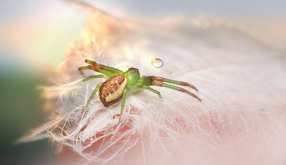 Crab Spider, Spider, Dew, Dewdrop, Diaea Dorsata