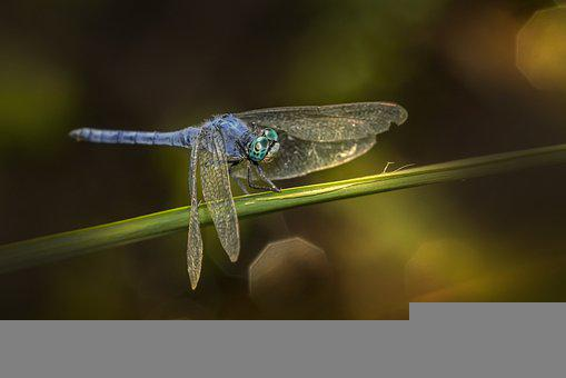 Southern Skimmer Dragonfly, Dragonfly, Insect