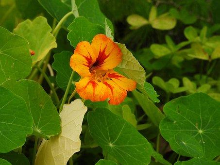 Flower, Plant, Nasturtiums, Green Leaves