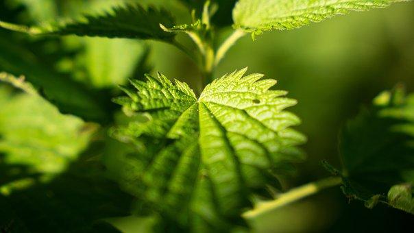 Nettle, Urticaceae, Plant, Green, Leaves