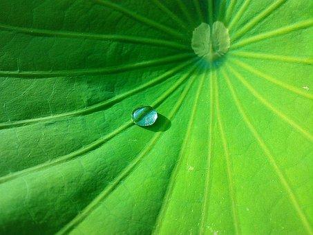 Leaf, Water Drop, Lotus, Plant, Green, Freshness