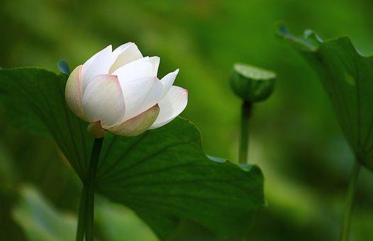 Lotus, Water Lily, Aquatic Plant, Pond, Nature