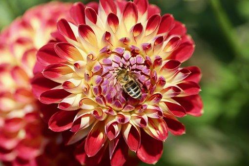 Dahlia, Dahlia Flower, Honey Bee, Pollination, Petals