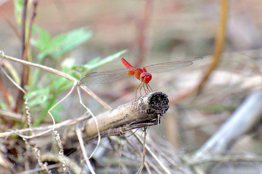 Insect, Dragonfly, Entomology, Species, Wings, Small