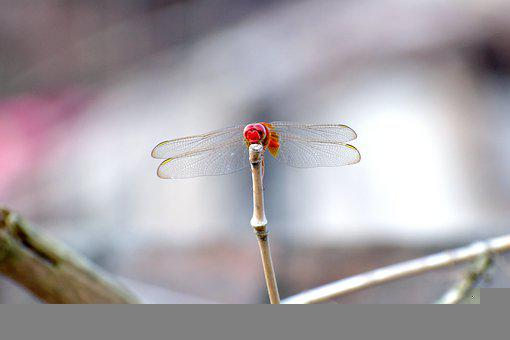 Insect, Dragonfly, Entomology, Species, Wings, Monkey