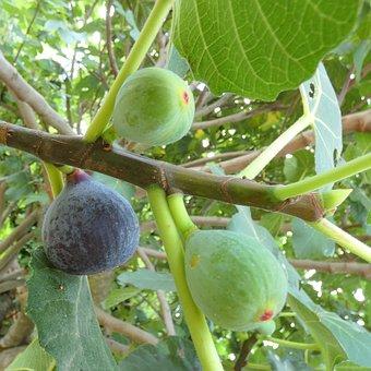 Fruit, Fig, Organic, Growth, Healthy, Branch, Harvest