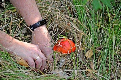 Mushroom, Fungus, Toadstool, Forest, Nature, Organic