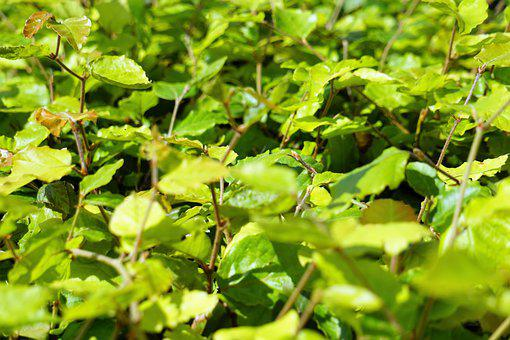 Hedge, Shrub, Nature, Green, Background, Leaves, Flora