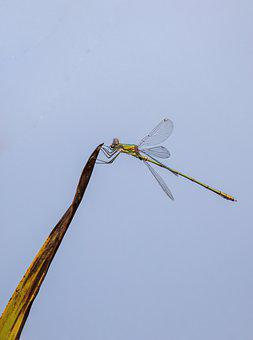 Insect, Dragonfly, Entomology, Species, Creature