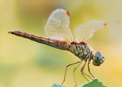 Dragonfly, Insect, Plant, Animal, Nature, Macro