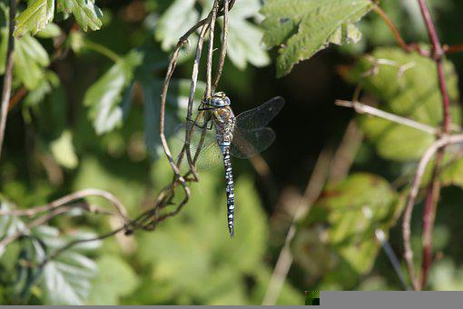Insect, Dragonfly, Nature, Wildlife, Wilderness, Macro