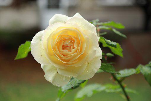 Yellow Flower, Yellow Rose, Garden, Nature, Dewdrops