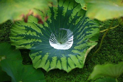 Pond, Lotus Leaf, Water, Nature
