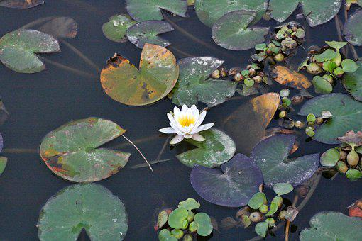 Water Lily, Flower, Plant, White Flower, Petals, Bloom