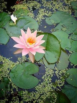 Lotus, Flower, Pond, Lily Pads, Lotus Flower