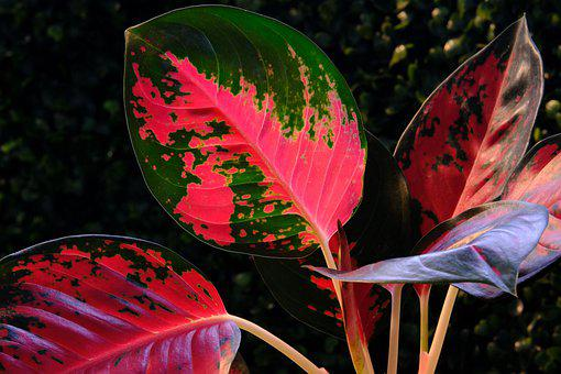 Aglaonema, Leaves, Nature, Colorful, Flora, Red-green