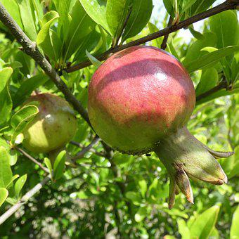 Fruit, Pomegranate, Organic, Healthy, Branch, Vegetal