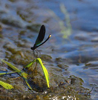 Dragonfly, Insect, Marsh, Bogland, Wetland, Macro