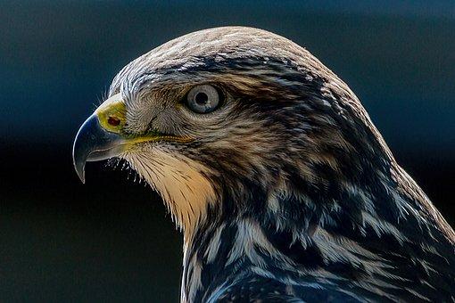 Bird, Buzzard, Ornithology, Species, Animal, Avian