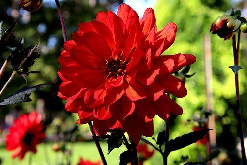 Dahlia, Red Flower, Red Dahlia, Garden, Horticulture