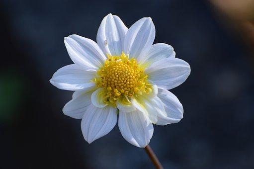 Dahlia, White Flower, Garden, Nature, Macro, Gardening