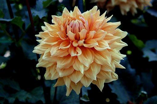 Dahlia, Yellow Flower, Yellow Dahlia, Garden
