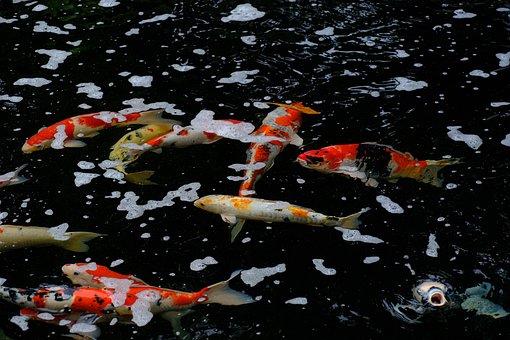 Fishes, Koi, Pond, Aquatic, Marine, Animal, Species