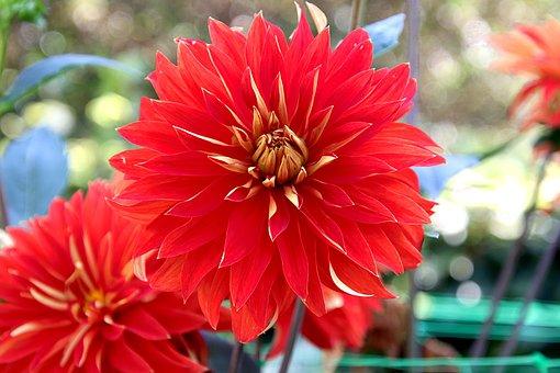 Dahlia, Red Flowers, Red Dahlias, Garden, Horticulture