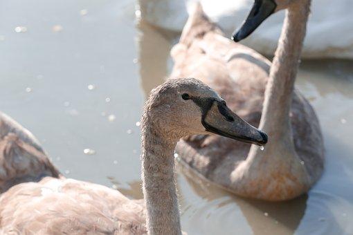 Swans, Water Birds, Lake, Pond, Waterfowls, Birds